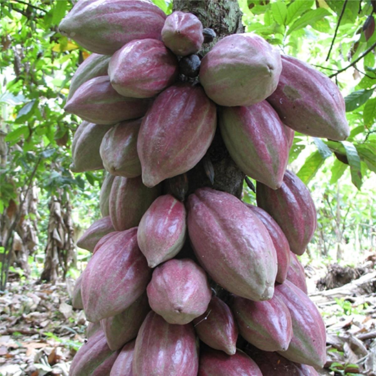 【海外ニュース】世界的穀物商社のカーギル、垂直農法のリーダー企業・米エアロファームズと提携。カカオ生産の研究に取り組む